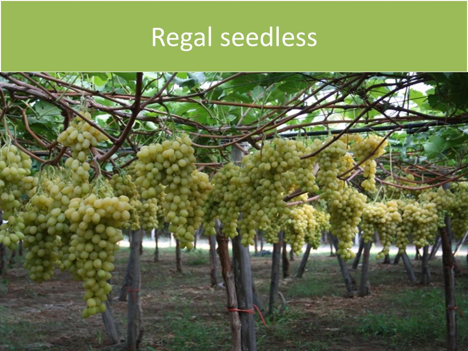 Regal seedless