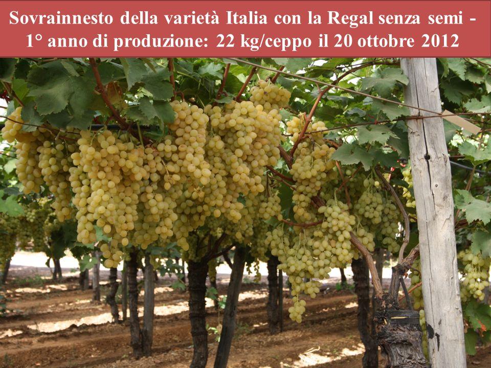Sovrainnesto della varietà Italia con la Regal senza semi - 1° anno di produzione: 22 kg/ceppo il 20 ottobre 2012