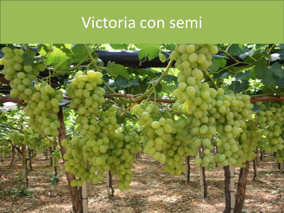 Victoria con semi