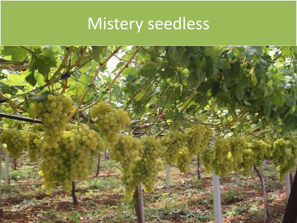 Mistery seedless