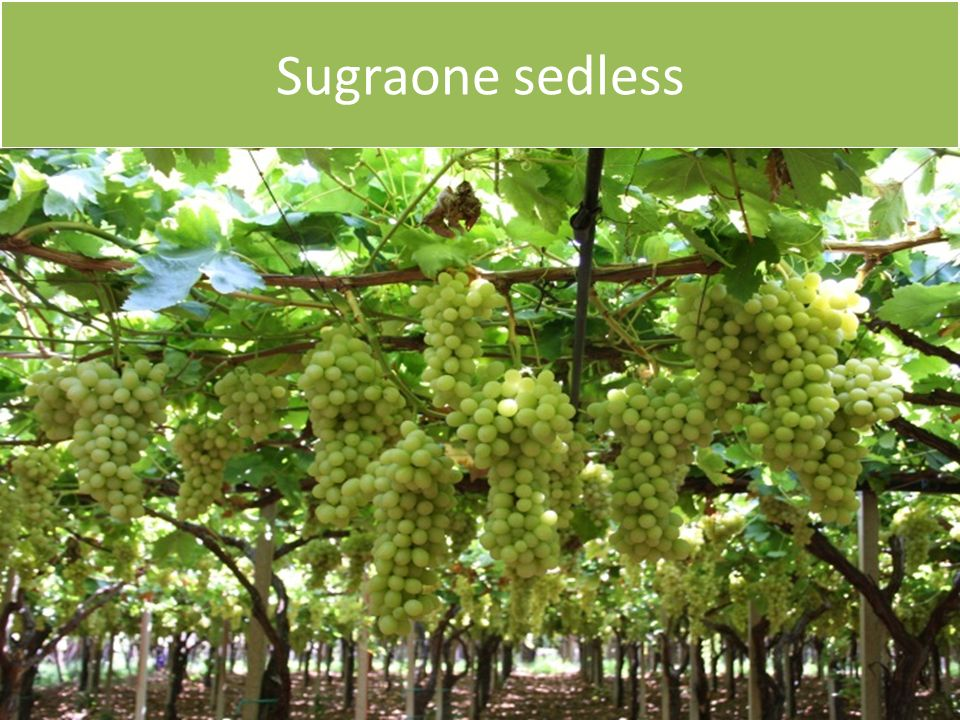 Sugraone sedless