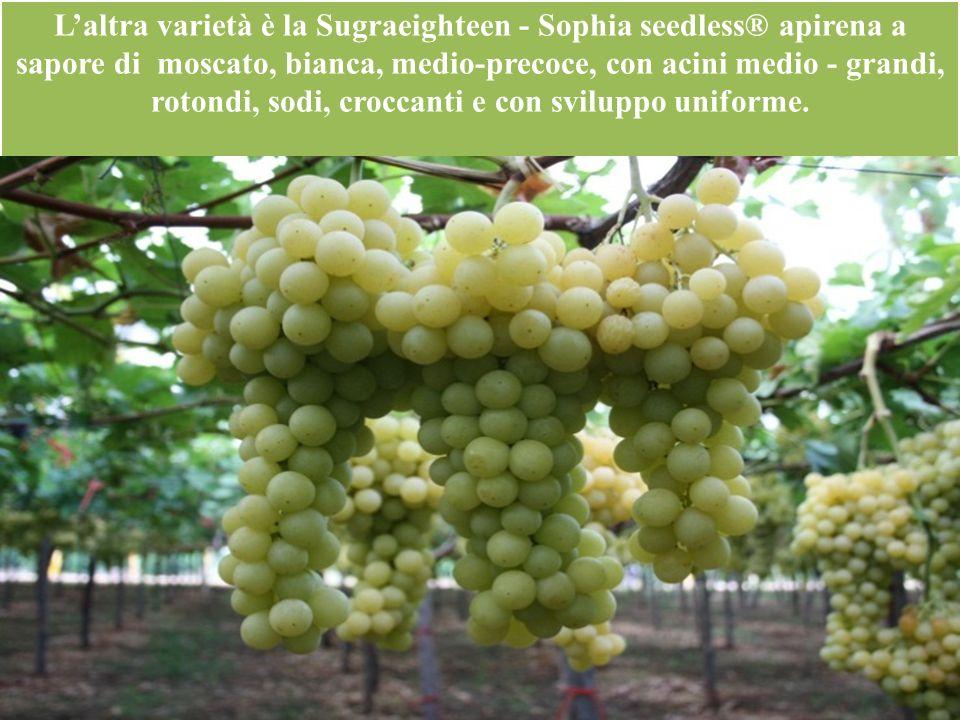 L'altra varietà è la Sugraeighteen - Sophia seedless® apirena a sapore di moscato, bianca, medio-precoce, con acini medio - grandi, rotondi, sodi, croccanti e con sviluppo uniforme.