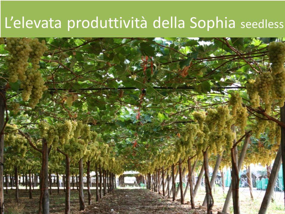 L'elevata produttività della Sophia seedless