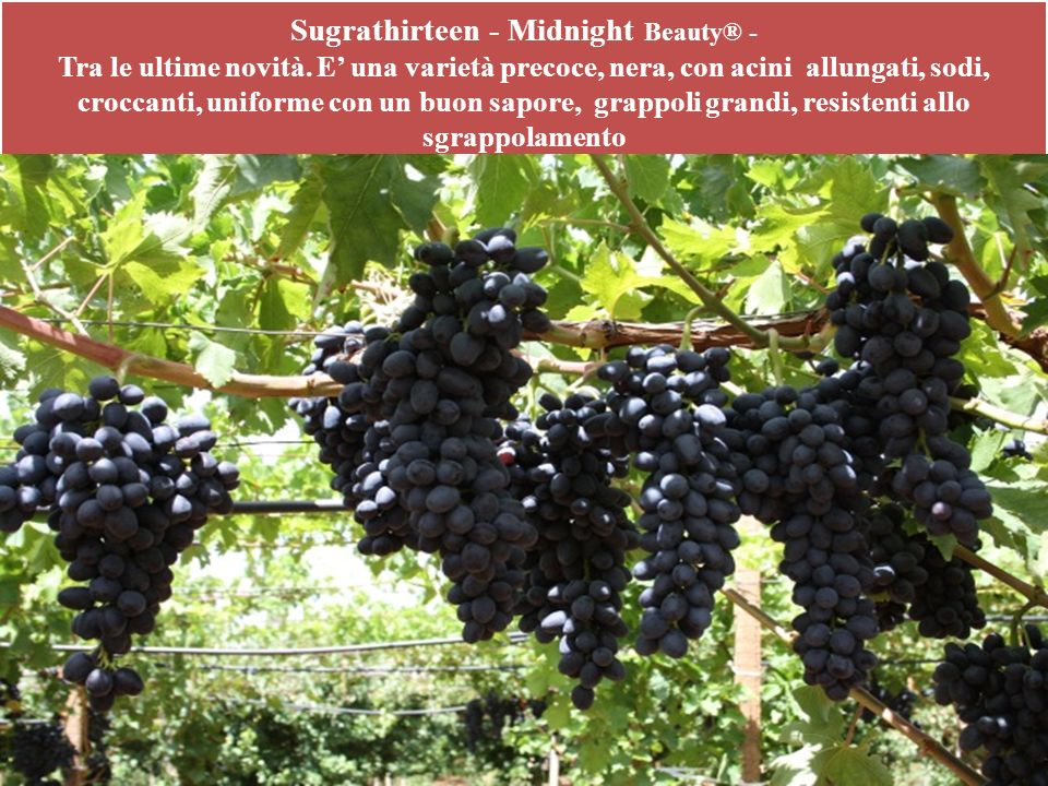 Sugrathirteen - Midnight Beauty® - Tra le ultime novità
