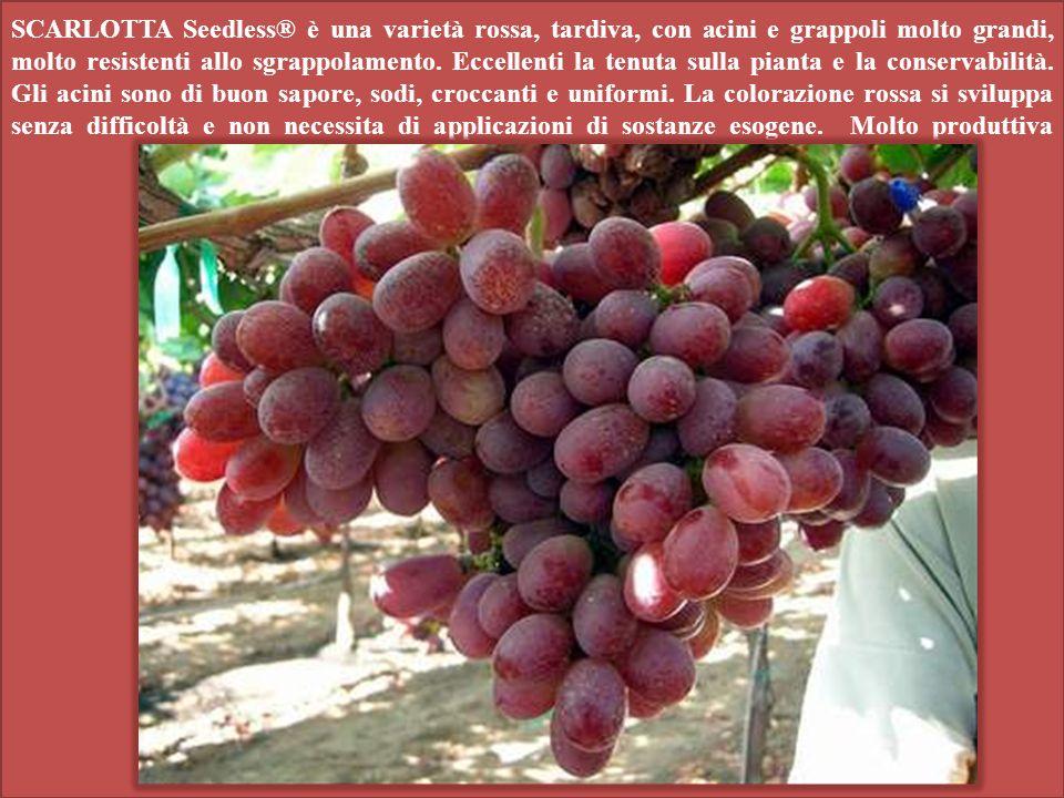 SCARLOTTA Seedless® è una varietà rossa, tardiva, con acini e grappoli molto grandi, molto resistenti allo sgrappolamento.