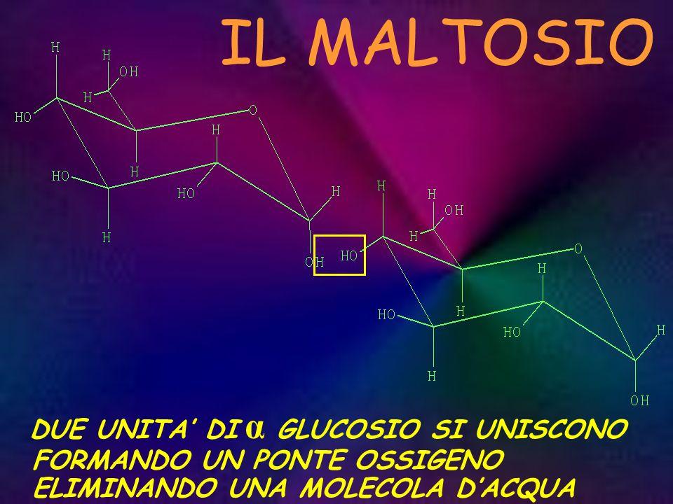 IL MALTOSIO DUE UNITA' DI α GLUCOSIO SI UNISCONO FORMANDO UN PONTE OSSIGENO ELIMINANDO UNA MOLECOLA D'ACQUA.