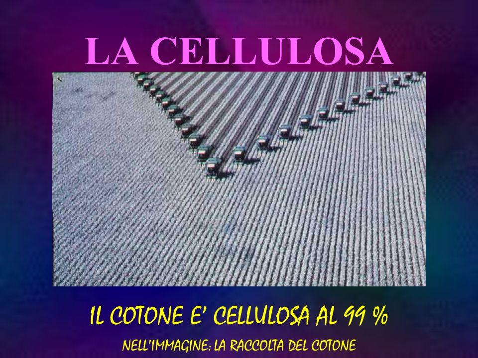 IL COTONE E' CELLULOSA AL 99 % NELL'IMMAGINE: LA RACCOLTA DEL COTONE
