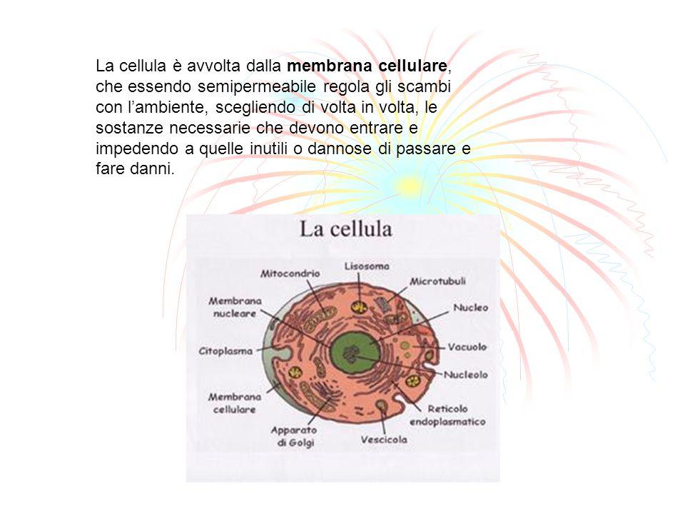 La cellula è avvolta dalla membrana cellulare, che essendo semipermeabile regola gli scambi con l'ambiente, scegliendo di volta in volta, le sostanze necessarie che devono entrare e impedendo a quelle inutili o dannose di passare e fare danni.