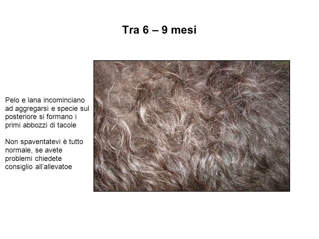 Tra 6 – 9 mesi Pelo e lana incominciano ad aggregarsi e specie sul posteriore si formano i primi abbozzi di tacole.