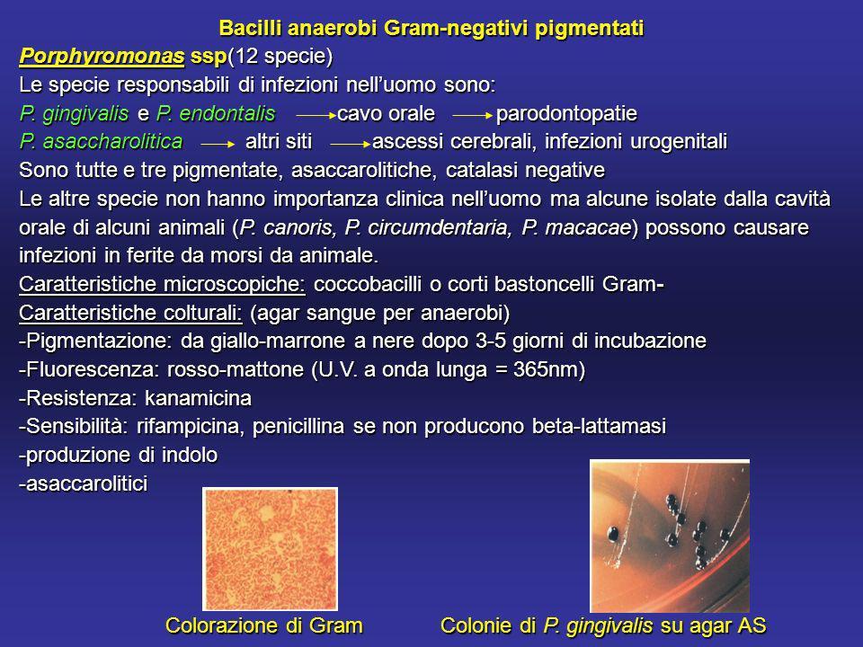 Bacilli anaerobi Gram-negativi pigmentati