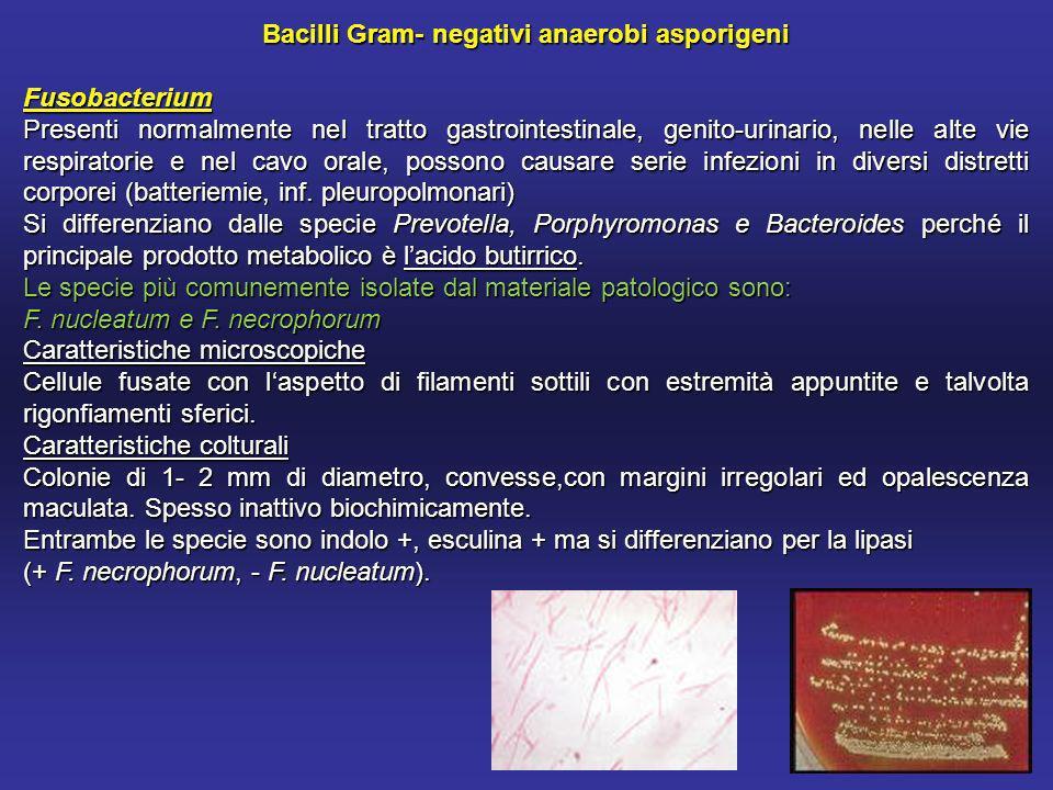 Bacilli Gram- negativi anaerobi asporigeni