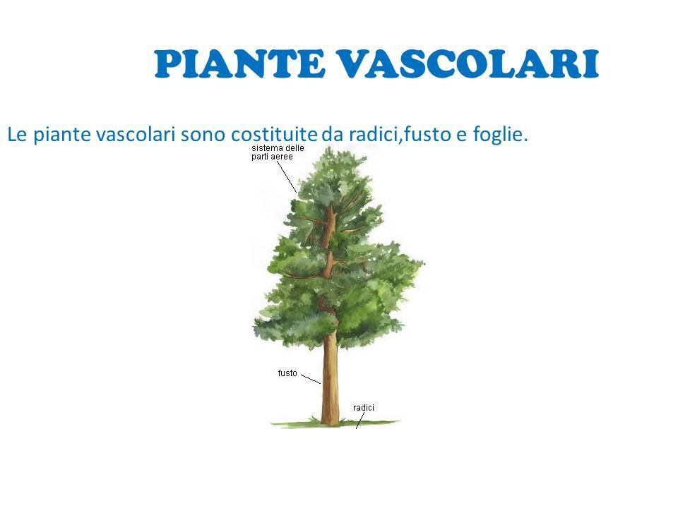 PIANTE VASCOLARI Le piante vascolari sono costituite da radici,fusto e foglie. PROGETTO DI SCIENZE