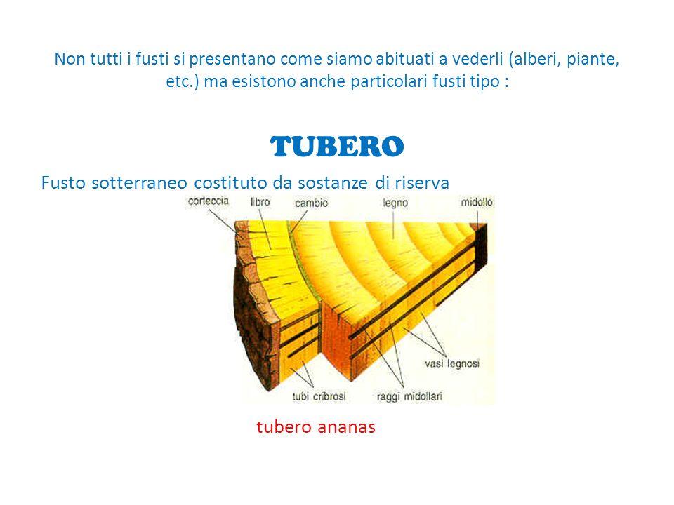 Fusto sotterraneo costituto da sostanze di riserva tubero ananas