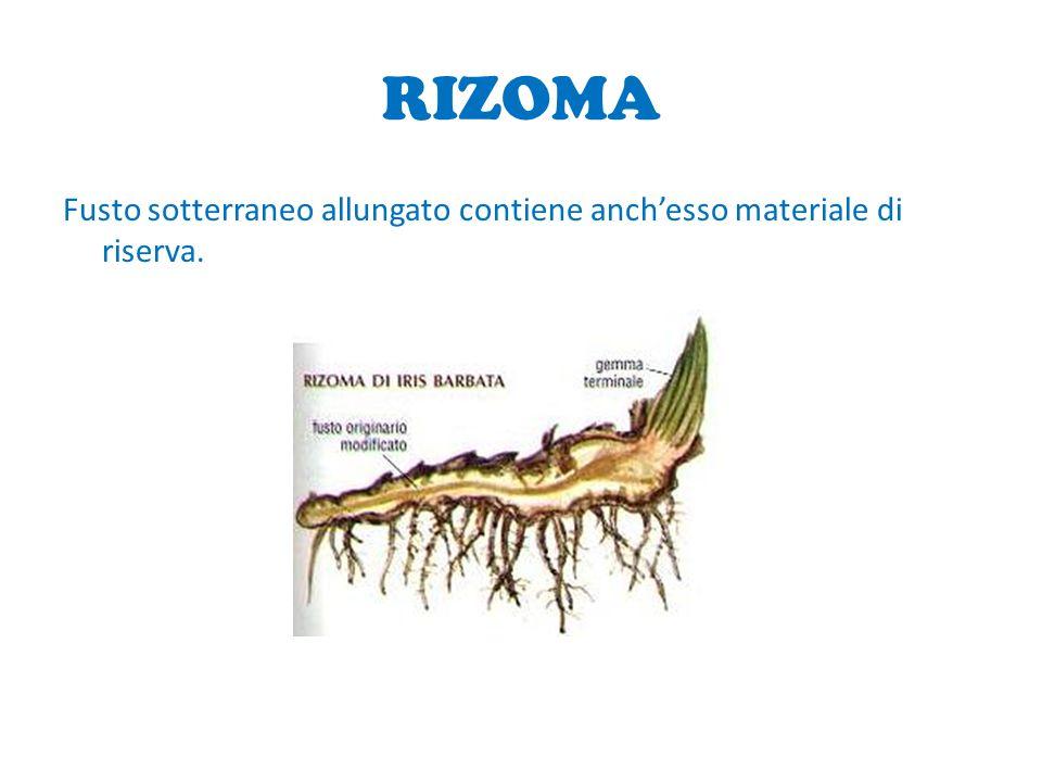 RIZOMA Fusto sotterraneo allungato contiene anch'esso materiale di riserva.