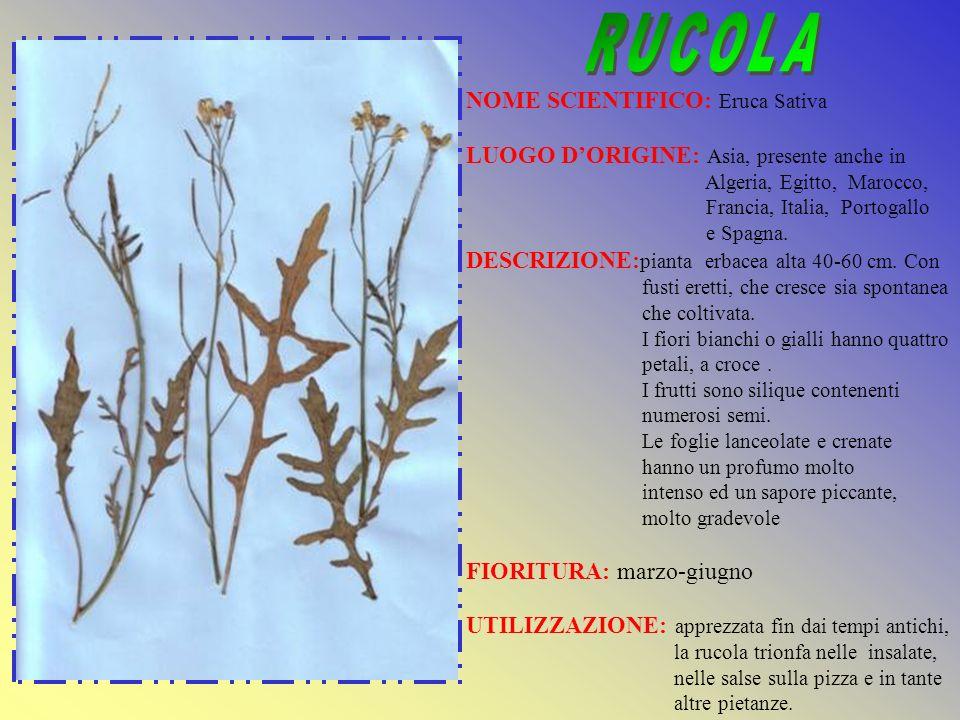 RUCOLA NOME SCIENTIFICO: Eruca Sativa