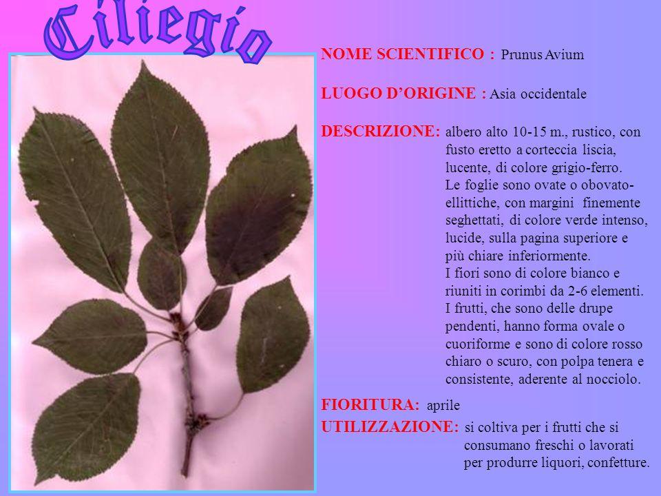 Ciliegio NOME SCIENTIFICO : Prunus Avium