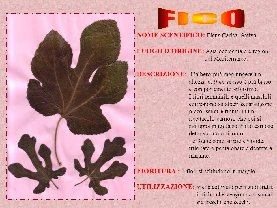 FICO NOME SCENTIFICO: Ficus Carica Sativa