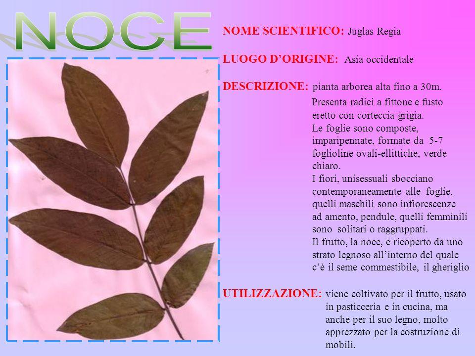 NOCE Presenta radici a fittone e fusto NOME SCIENTIFICO: Juglas Regia