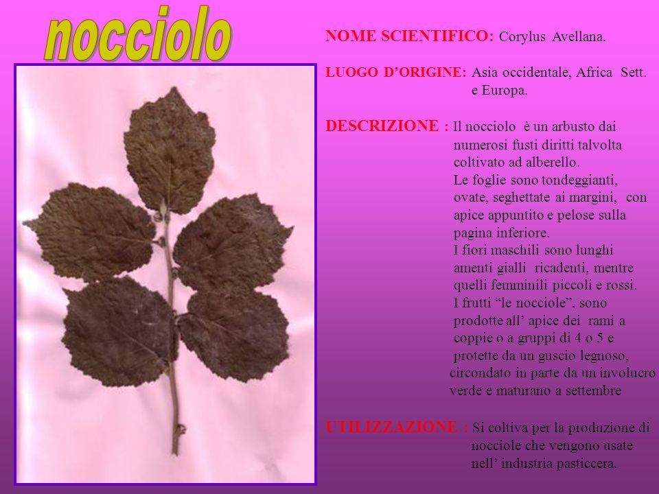 nocciolo NOME SCIENTIFICO: Corylus Avellana.