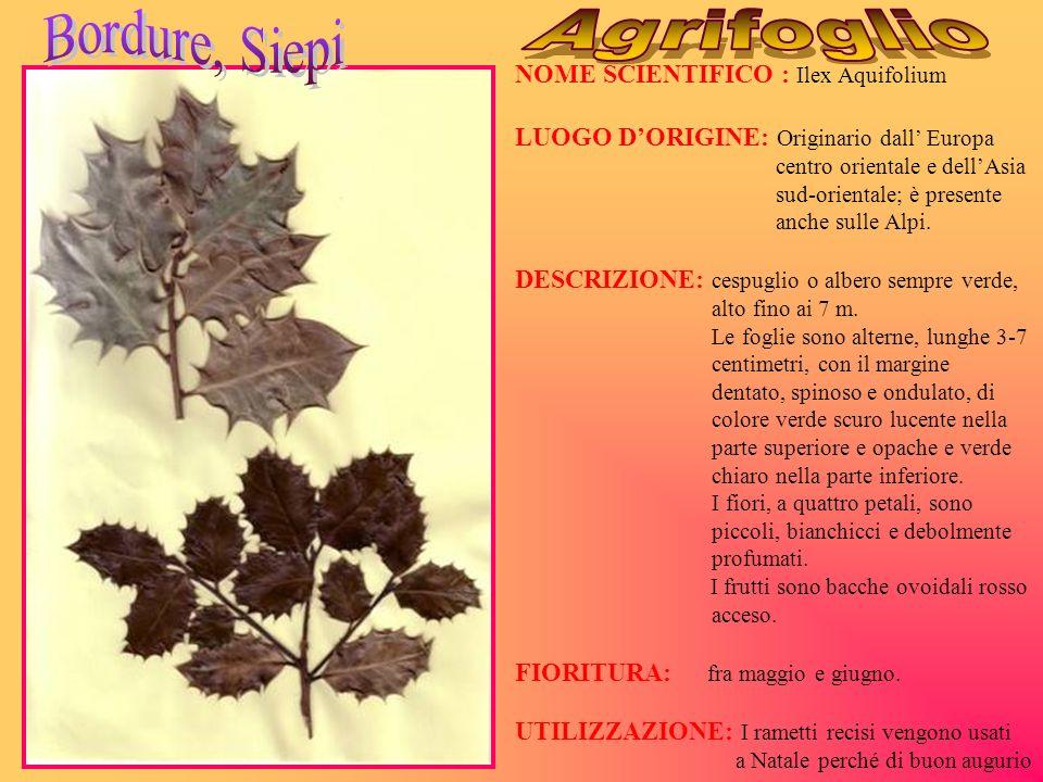 Bordure, Siepi Agrifoglio NOME SCIENTIFICO : Ilex Aquifolium