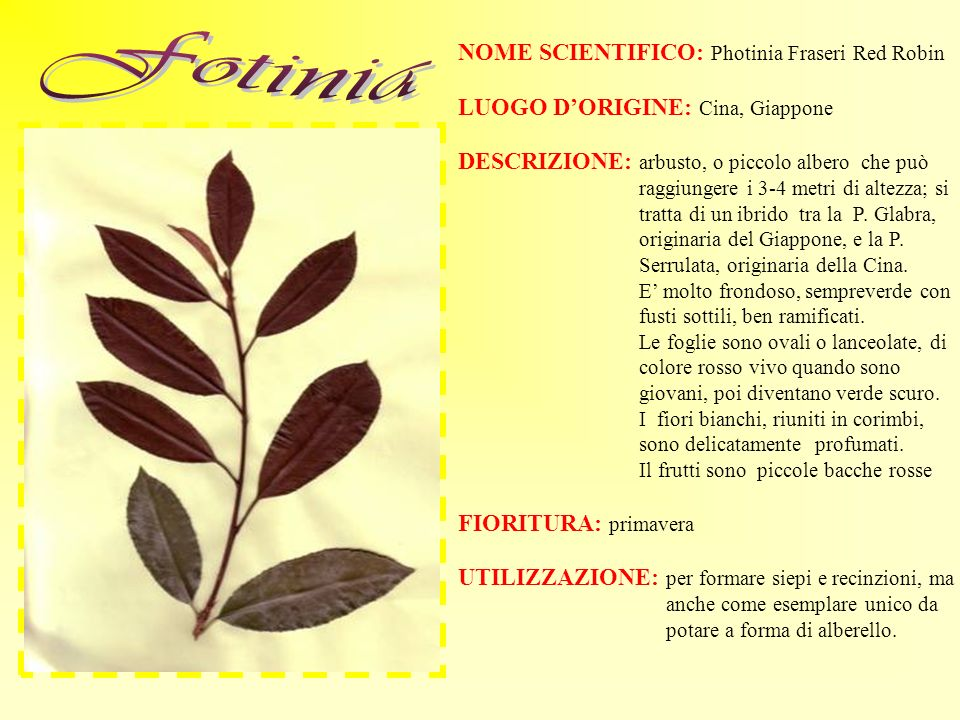 Fotinia NOME SCIENTIFICO: Photinia Fraseri Red Robin