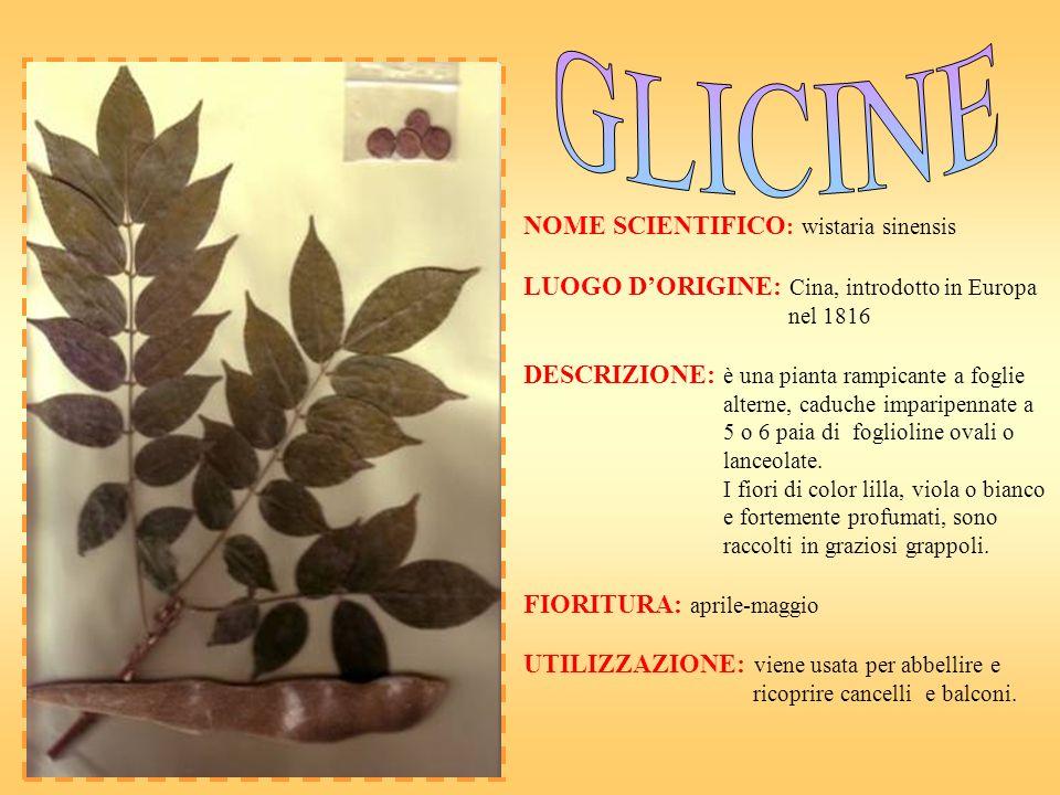 GLICINE NOME SCIENTIFICO: wistaria sinensis