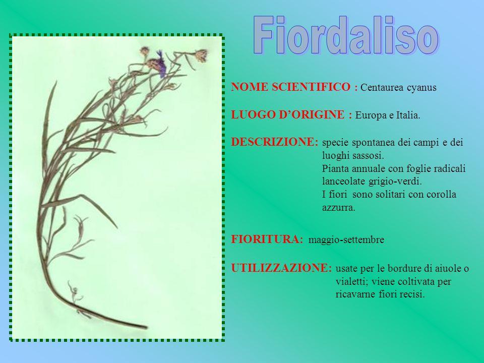 Fiordaliso NOME SCIENTIFICO : Centaurea cyanus