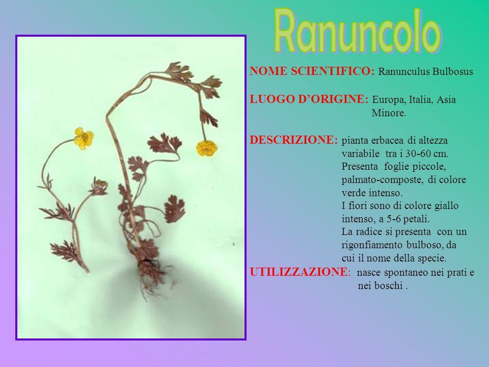 Ranuncolo NOME SCIENTIFICO: Ranunculus Bulbosus