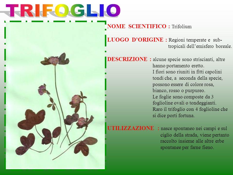 TRIFOGLIO NOME SCIENTIFICO : Trifolium