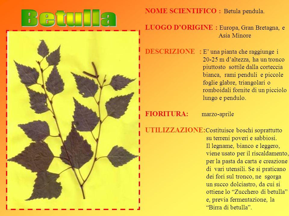 Betulla NOME SCIENTIFICO : Betula pendula.