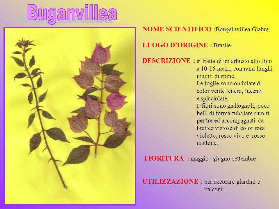 Buganvillea NOME SCIENTIFICO :Bougainvillea Glabra