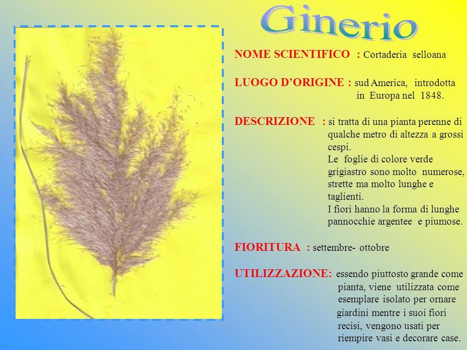 Ginerio NOME SCIENTIFICO : Cortaderia selloana