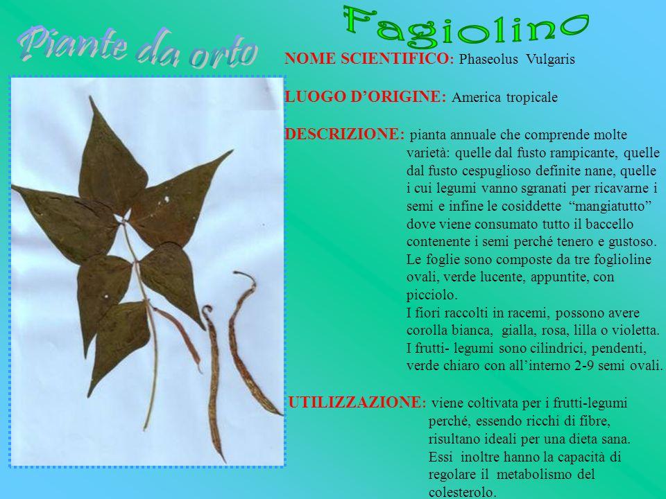Fagiolino Piante da orto NOME SCIENTIFICO: Phaseolus Vulgaris