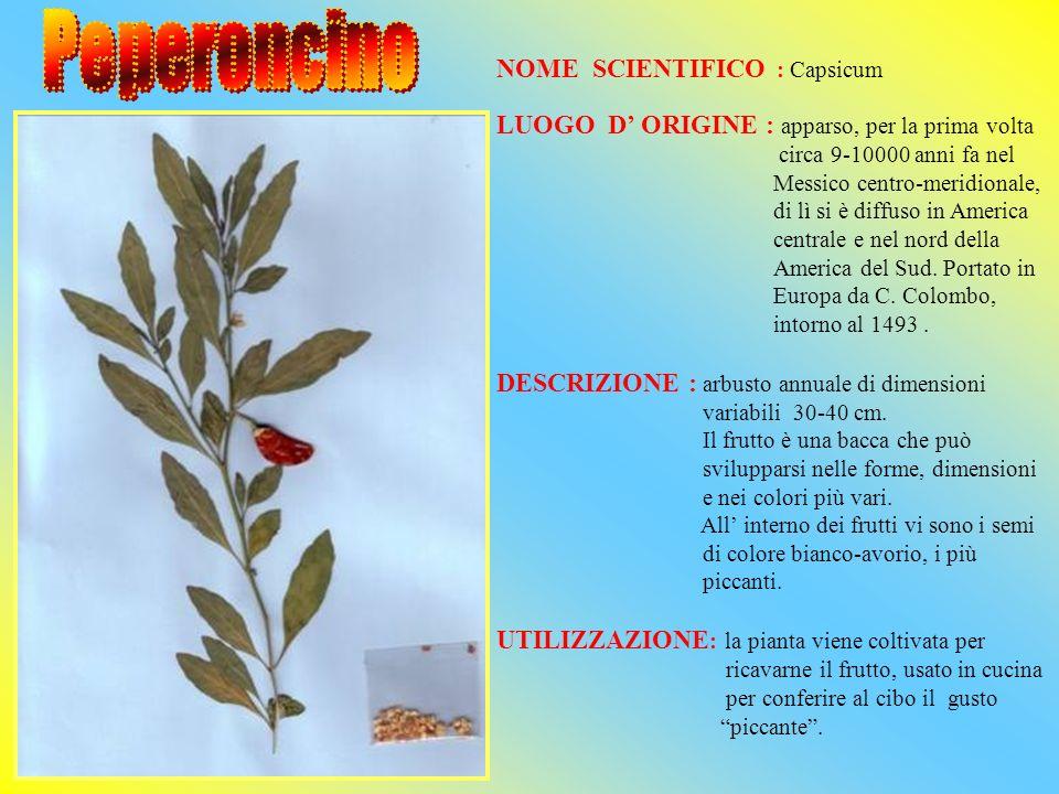 Peperoncino NOME SCIENTIFICO : Capsicum