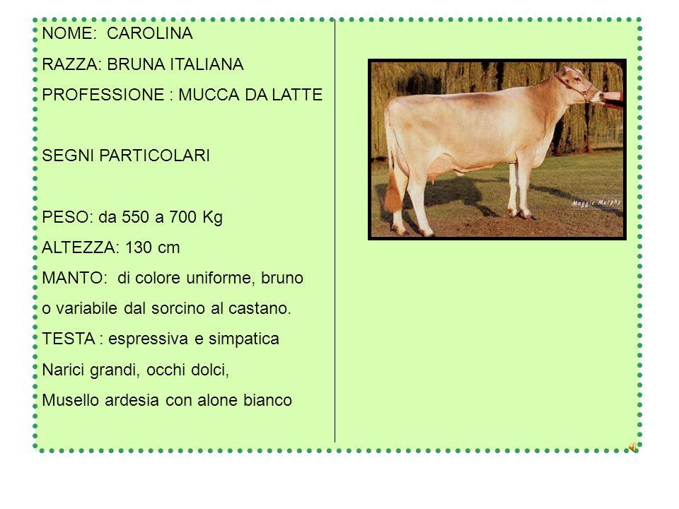 NOME: CAROLINA RAZZA: BRUNA ITALIANA. PROFESSIONE : MUCCA DA LATTE. SEGNI PARTICOLARI. PESO: da 550 a 700 Kg.