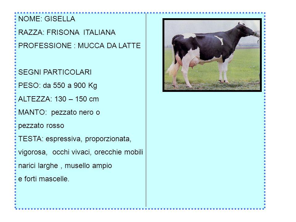NOME: GISELLA RAZZA: FRISONA ITALIANA. PROFESSIONE : MUCCA DA LATTE. SEGNI PARTICOLARI. PESO: da 550 a 900 Kg.