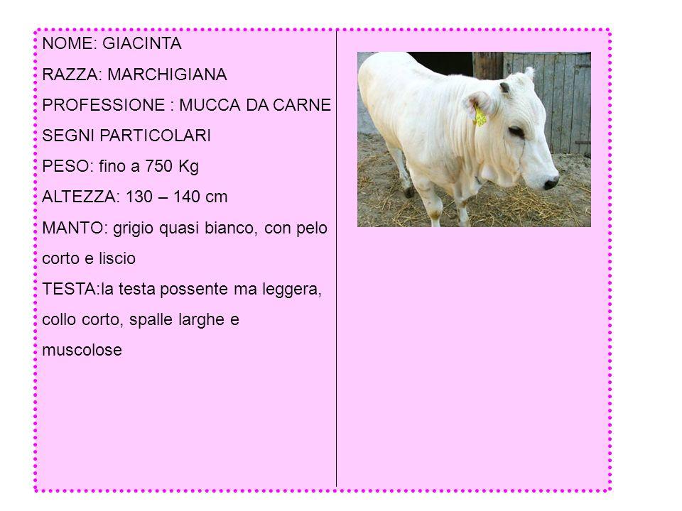 NOME: GIACINTA RAZZA: MARCHIGIANA. PROFESSIONE : MUCCA DA CARNE. SEGNI PARTICOLARI. PESO: fino a 750 Kg.