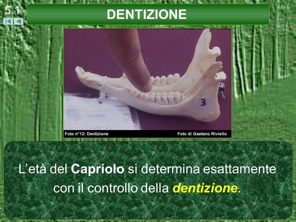 5.1 DENTIZIONE L'età del Capriolo si determina esattamente con il controllo della dentizione.