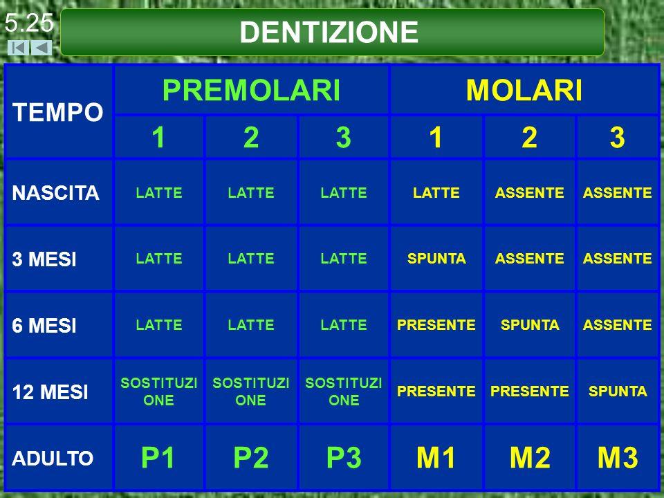 DENTIZIONE PREMOLARI MOLARI 1 2 3 P1 P2 P3 M1 M2 M3