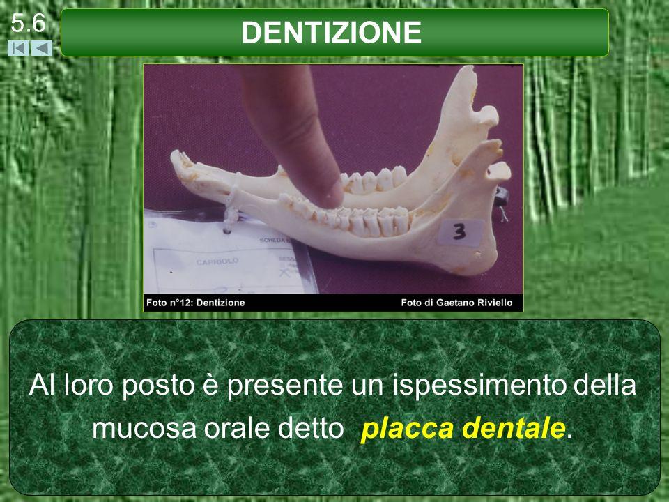 5.6 DENTIZIONE Al loro posto è presente un ispessimento della mucosa orale detto placca dentale.