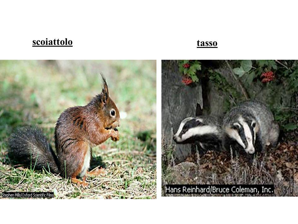 scoiattolo tasso