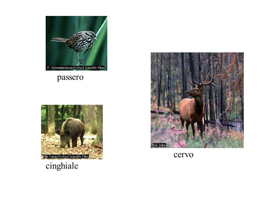 passero cervo cinghiale
