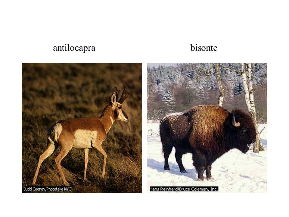 antilocapra bisonte
