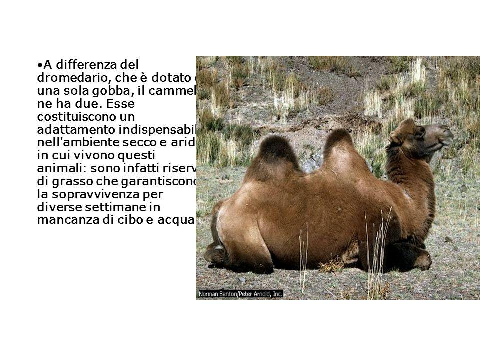 A differenza del dromedario, che è dotato di una sola gobba, il cammello ne ha due.