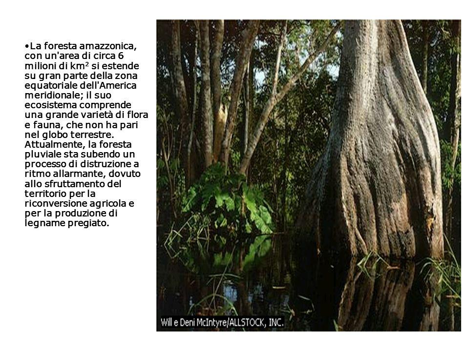 La foresta amazzonica, con un area di circa 6 milioni di km2 si estende su gran parte della zona equatoriale dell America meridionale; il suo ecosistema comprende una grande varietà di flora e fauna, che non ha pari nel globo terrestre.