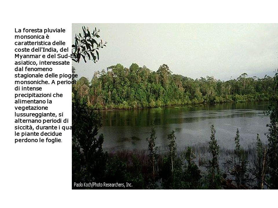 La foresta pluviale monsonica è caratteristica delle coste dell India, del Myanmar e del Sud-Est asiatico, interessate dal fenomeno stagionale delle piogge monsoniche.