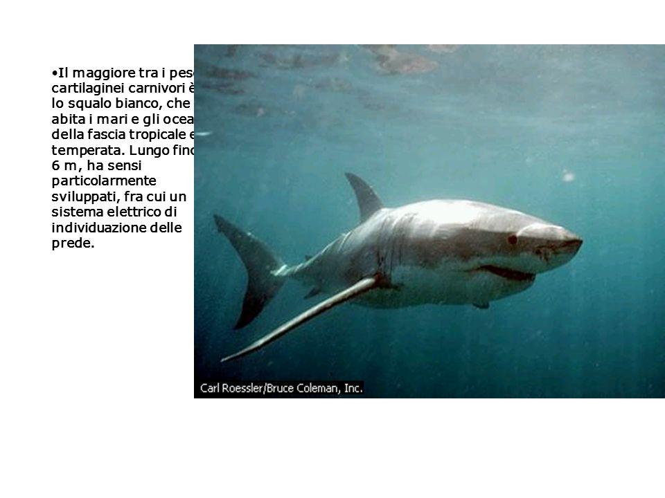 Il maggiore tra i pesci cartilaginei carnivori è lo squalo bianco, che abita i mari e gli oceani della fascia tropicale e temperata.