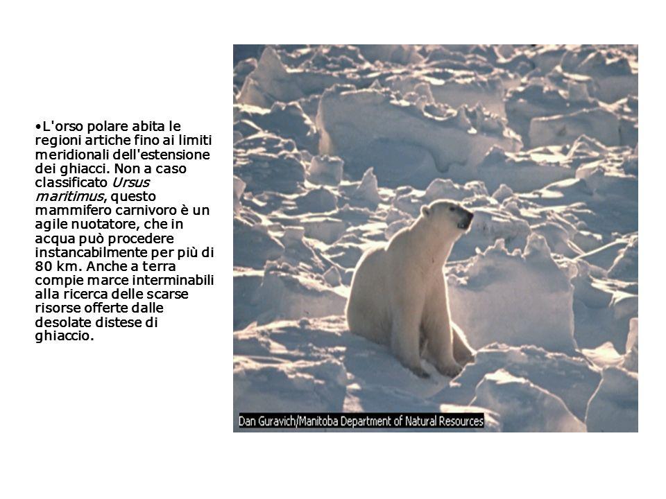 L orso polare abita le regioni artiche fino ai limiti meridionali dell estensione dei ghiacci.