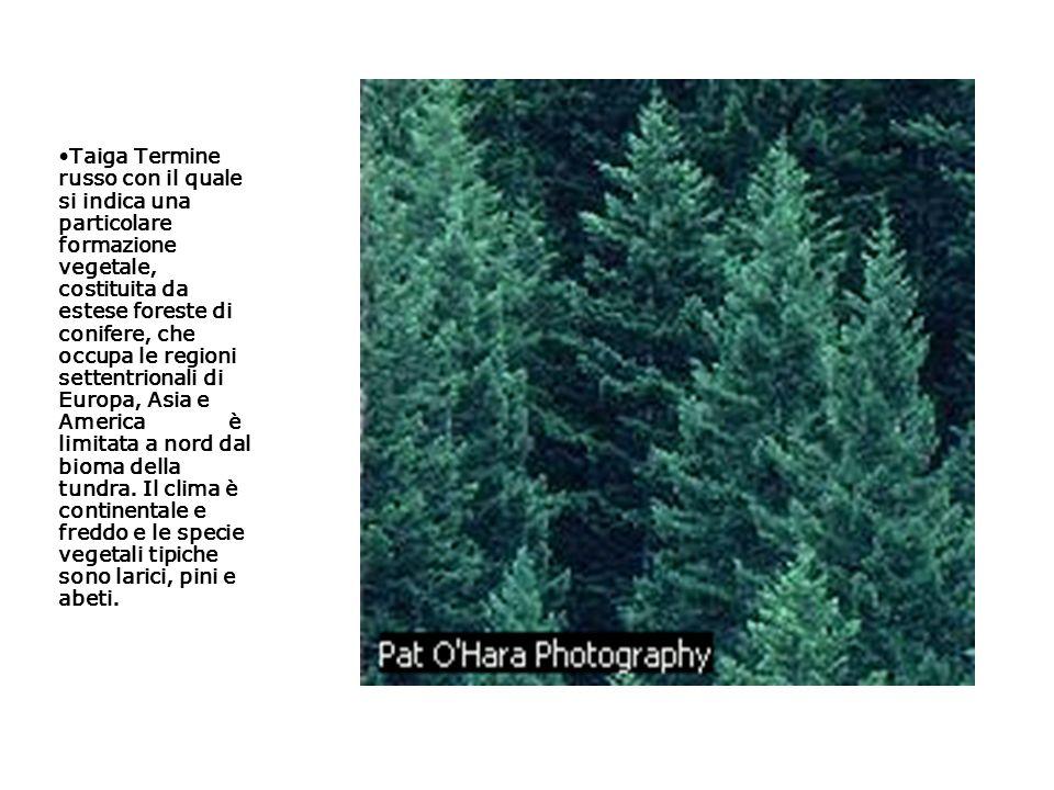 Taiga Termine russo con il quale si indica una particolare formazione vegetale, costituita da estese foreste di conifere, che occupa le regioni settentrionali di Europa, Asia e America è limitata a nord dal bioma della tundra.