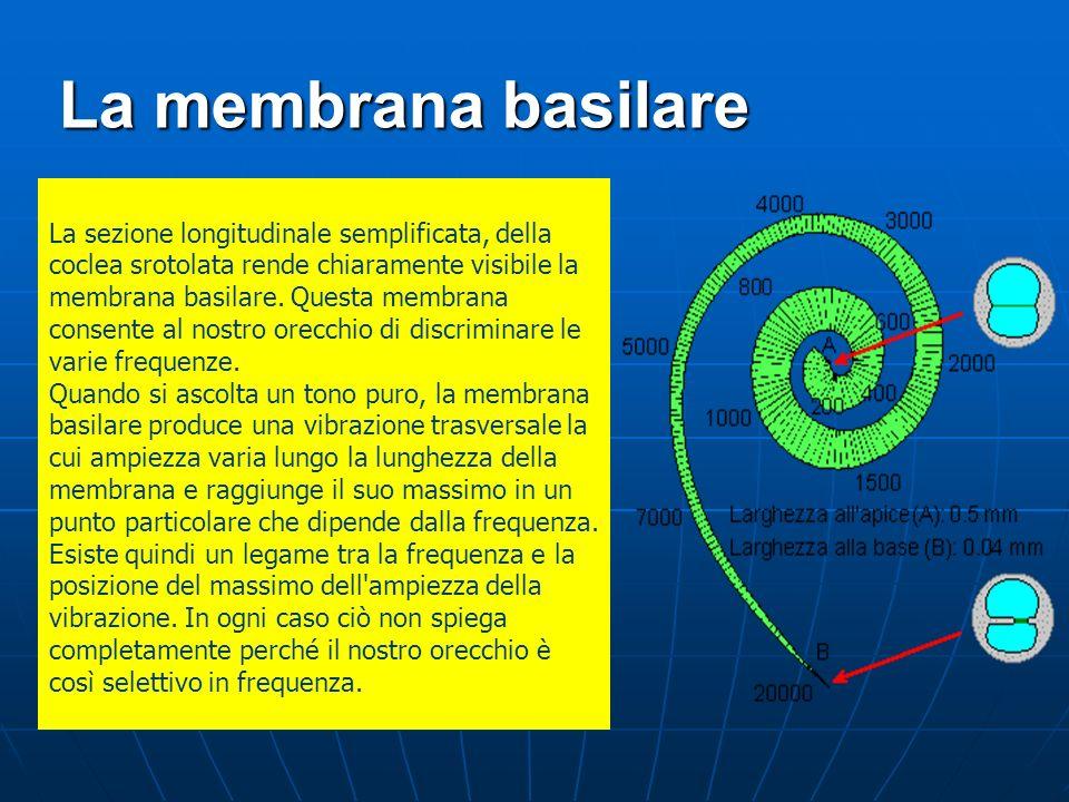 La membrana basilare